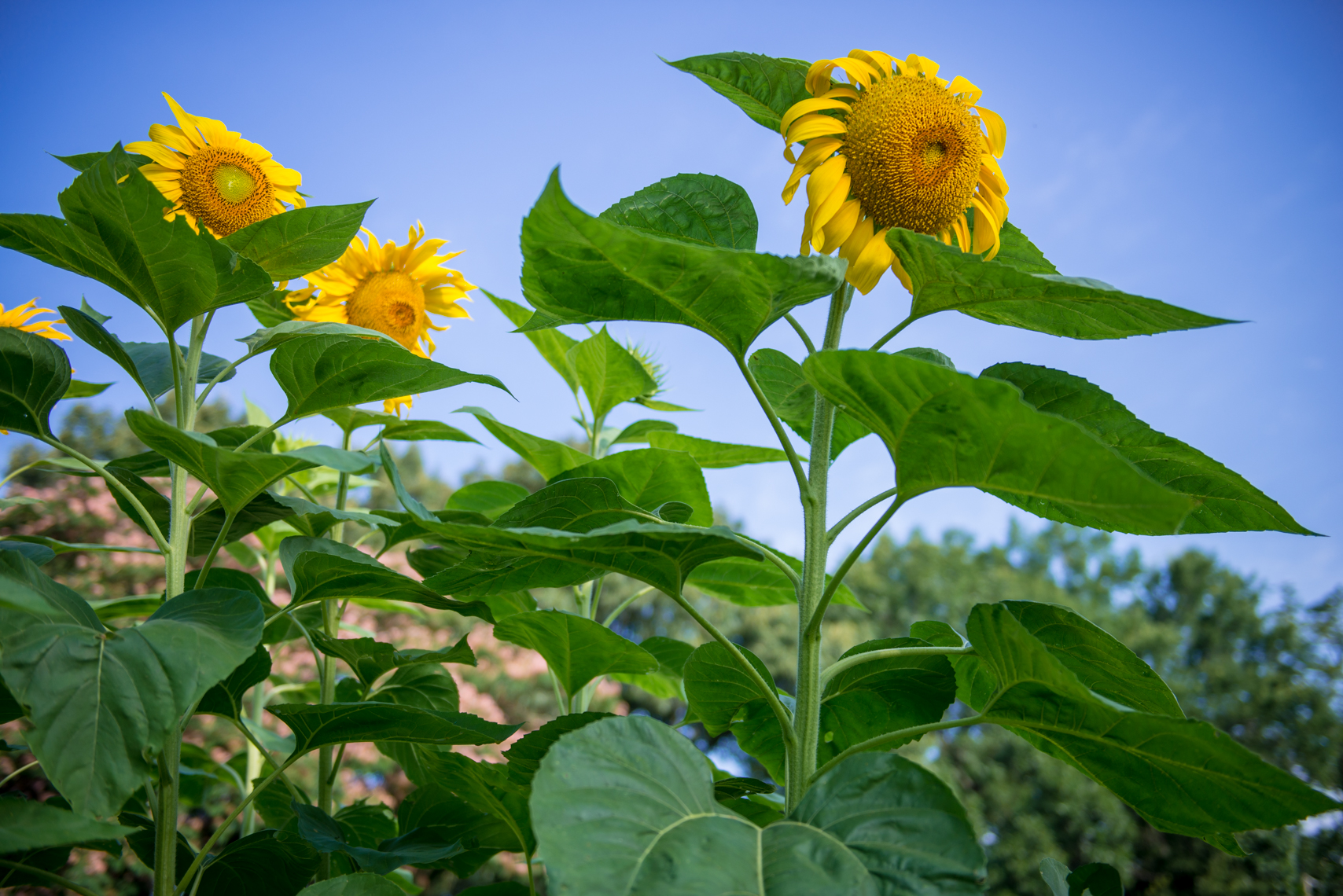 Sunflowers, Little Rock, Arkansas