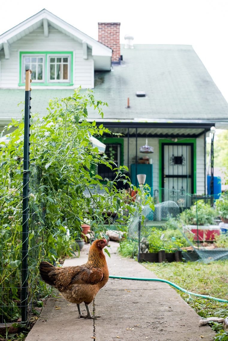 Chickens wandering an urban organic farm in Nashville, Tennessee, funny, chicken, foul, bird